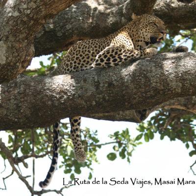 Masai Mara, Kenya: el leopardo descansa sobre la rama del árbol, impasible ante nuestra mirada observadora.